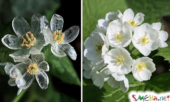 Удивительный цветок Двулистник (Diphylleia), который становится прозрачным во время дождя. Его можно найти лишь в трёх частях земного шара: на влажных лесистых склонах в холодных регионах Японии и Китая, а также в Аппалачи и США
